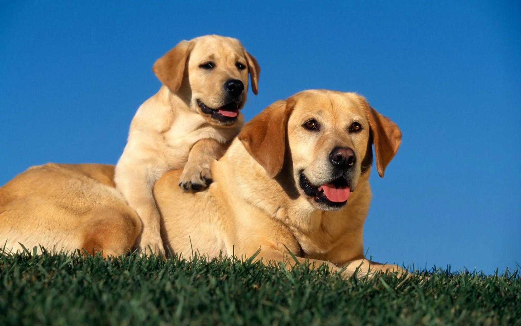 壁纸1680×1050可爱狗狗 高清宽屏壁纸壁纸,可爱狗狗