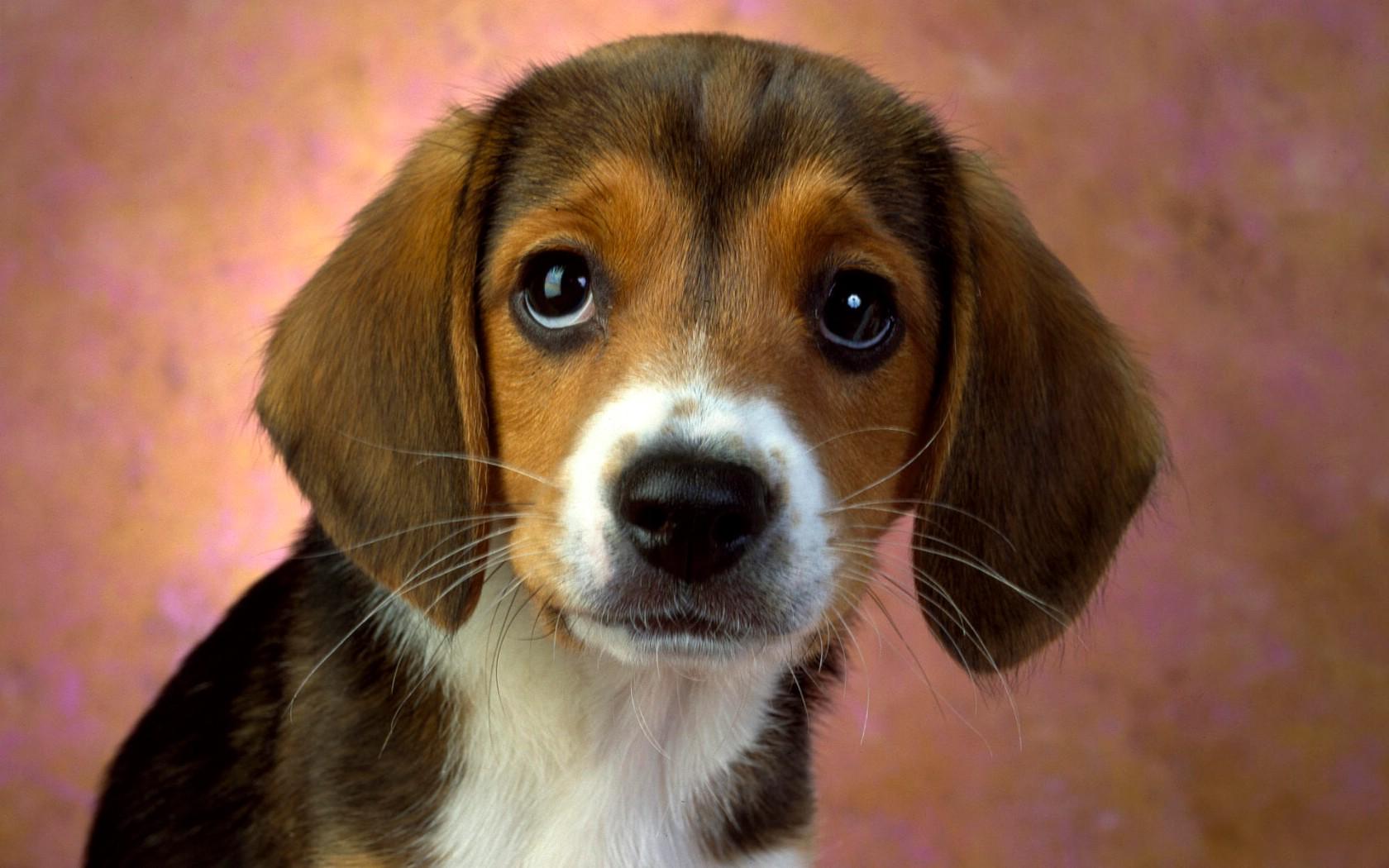 可爱狗桌面壁纸图片写真