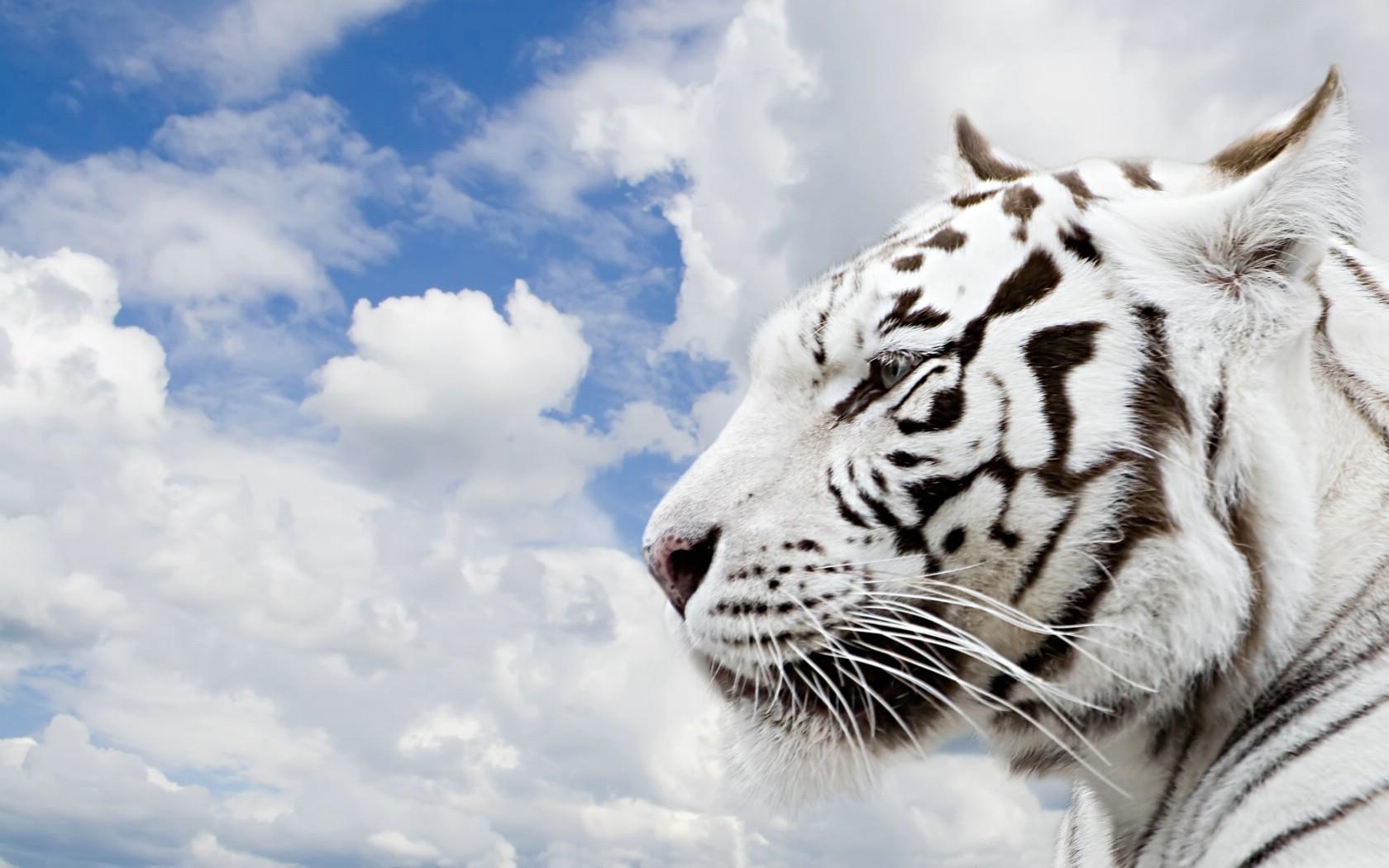 最大的老虎,老虎简笔画