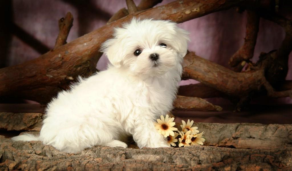 Cute Dog Images Hd Wallpapers Desktop Images Fidelity: 壁纸1024×600毛茸茸小狗狗壁纸壁纸,毛茸茸小狗狗壁纸壁纸图片-动物壁纸-动物图片素材-桌面壁纸
