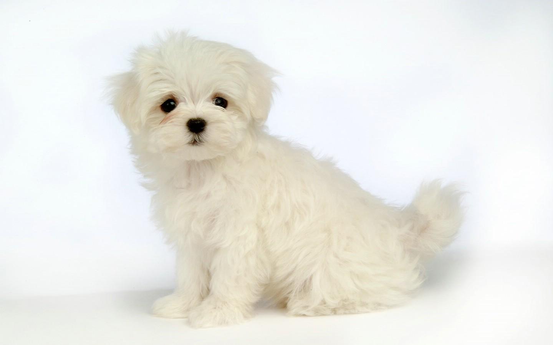 毛茸茸小狗狗壁纸壁纸图片动物壁纸动物图片素材桌面壁纸