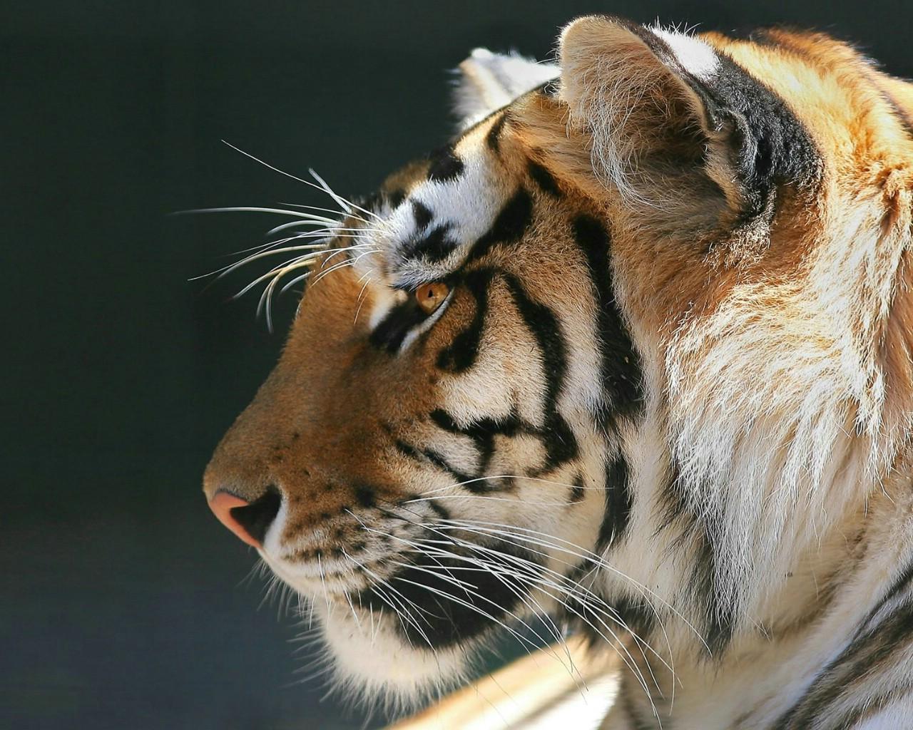 关于老虎的壁纸