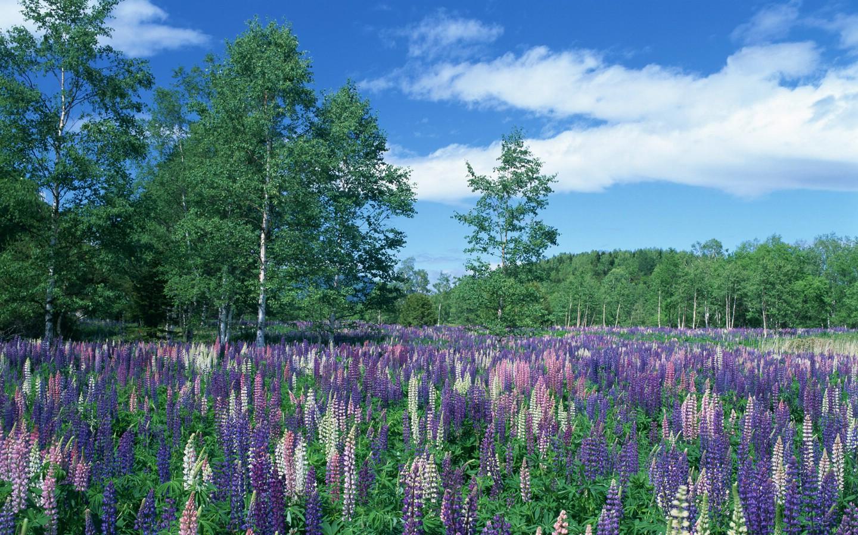鲜花遍野 蓝天白云下五颜六色的花田和绿色树林图片 高清图片