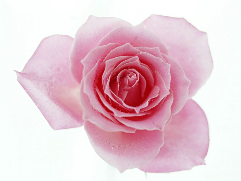 壁纸800×600七夕情人节99张玫瑰壁纸壁纸 七夕情人节99张玫瑰壁纸壁纸图片其他壁纸其他图片素材桌面壁纸