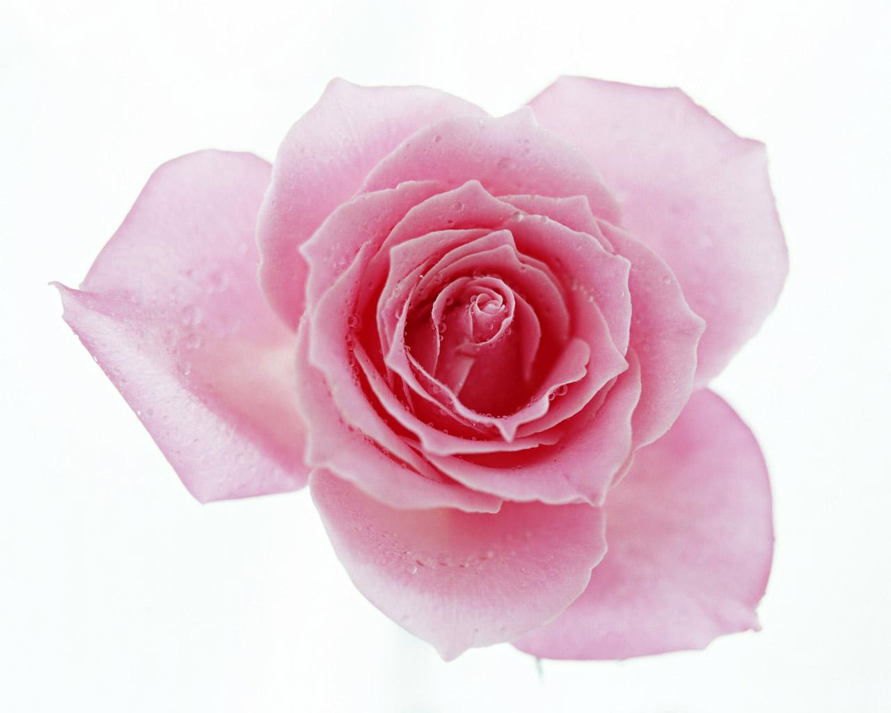 壁纸1280×1024七夕情人节99张玫瑰壁纸壁纸 七夕情人节99张玫瑰壁纸壁纸图片其他壁纸其他图片素材桌面壁纸