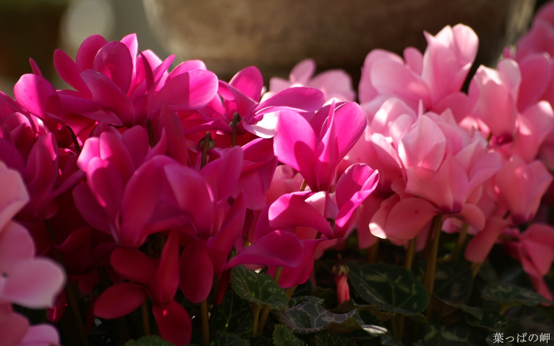 壁纸 杜鹃/高精度个人花卉摄影集