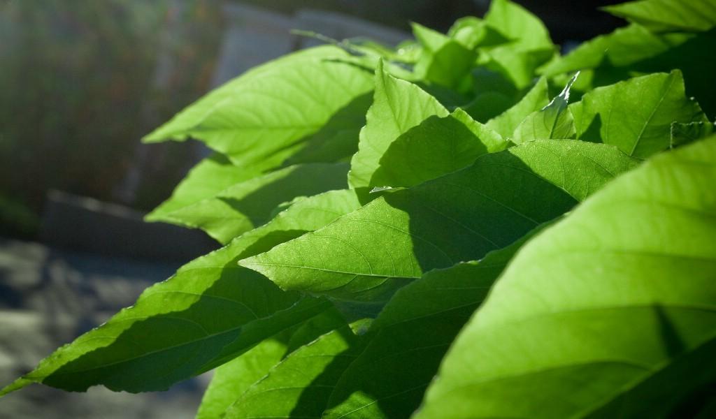 壁纸1024×600高清宽屏植物壁纸壁纸 高清宽屏植物壁纸壁纸图片植物壁纸植物图片素材桌面壁纸