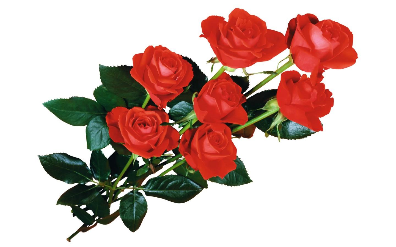 花世界 鲜花系列之玫瑰宽屏壁纸壁纸图片 植物图片素材 -花世界 鲜花