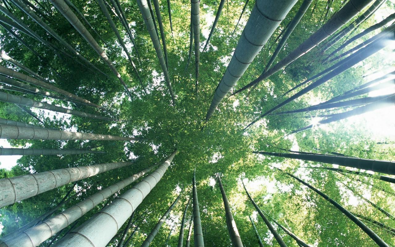 壁纸1280×800绿色竹情壁纸壁纸 绿色竹情壁纸壁纸图片植物壁纸植物图片素材桌面壁纸