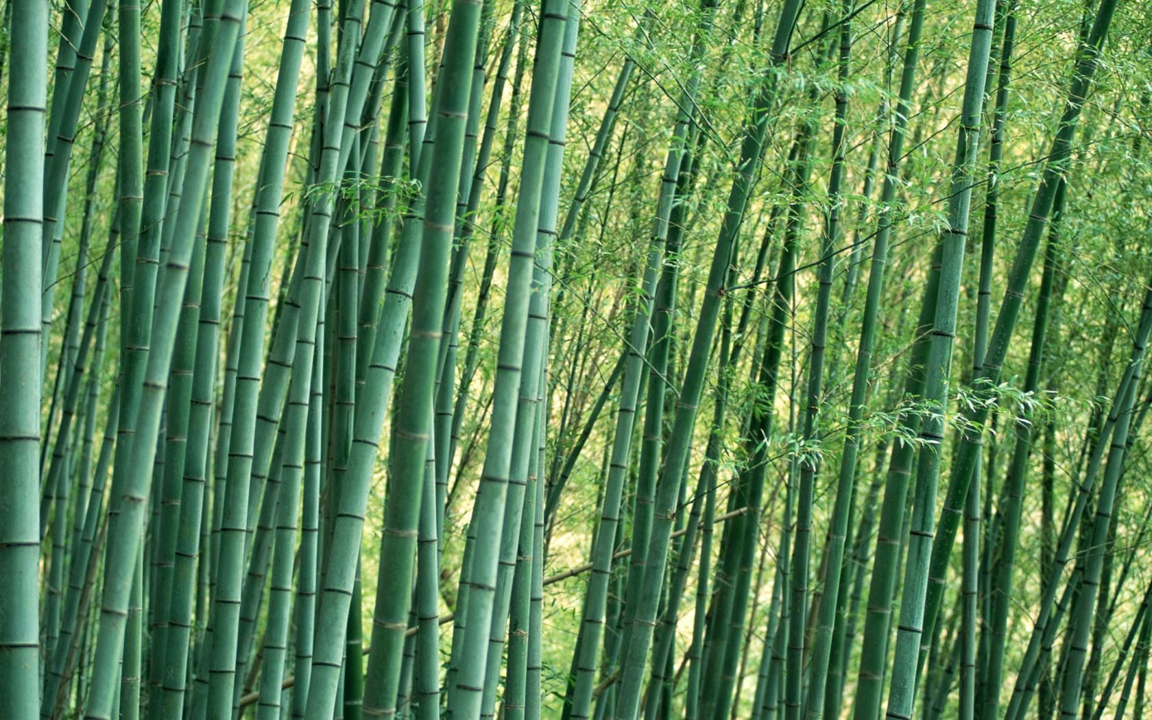 壁纸1680×1050绿色竹情壁纸壁纸 绿色竹情壁纸壁纸图片植物壁纸植物图片素材桌面壁纸