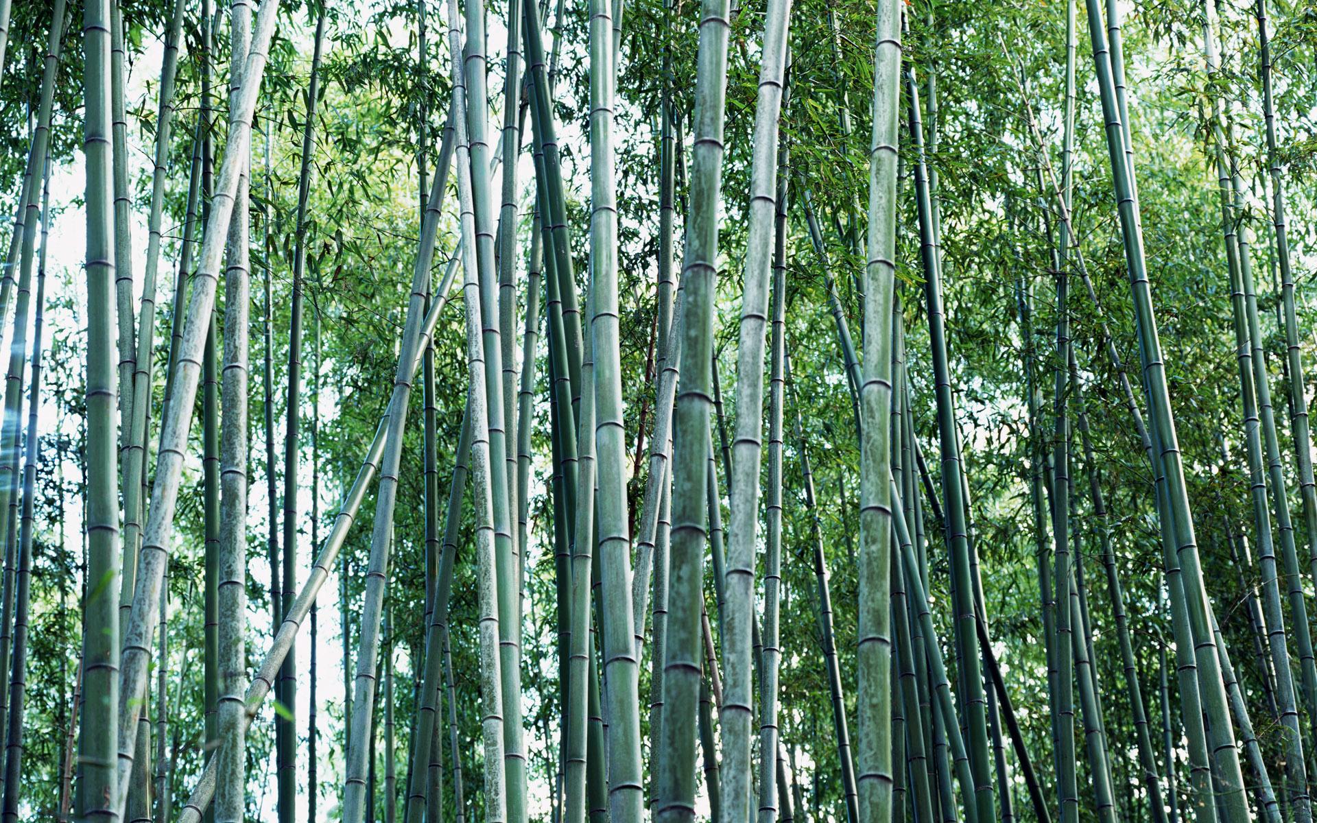 壁纸1920×1200绿色竹情壁纸壁纸 绿色竹情壁纸壁纸图片植物壁纸植物图片素材桌面壁纸