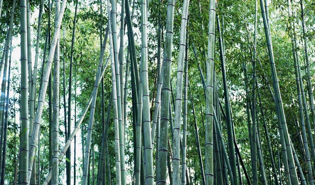 壁纸1024×600绿色竹情壁纸壁纸 绿色竹情壁纸壁纸图片植物壁纸植物图片素材桌面壁纸