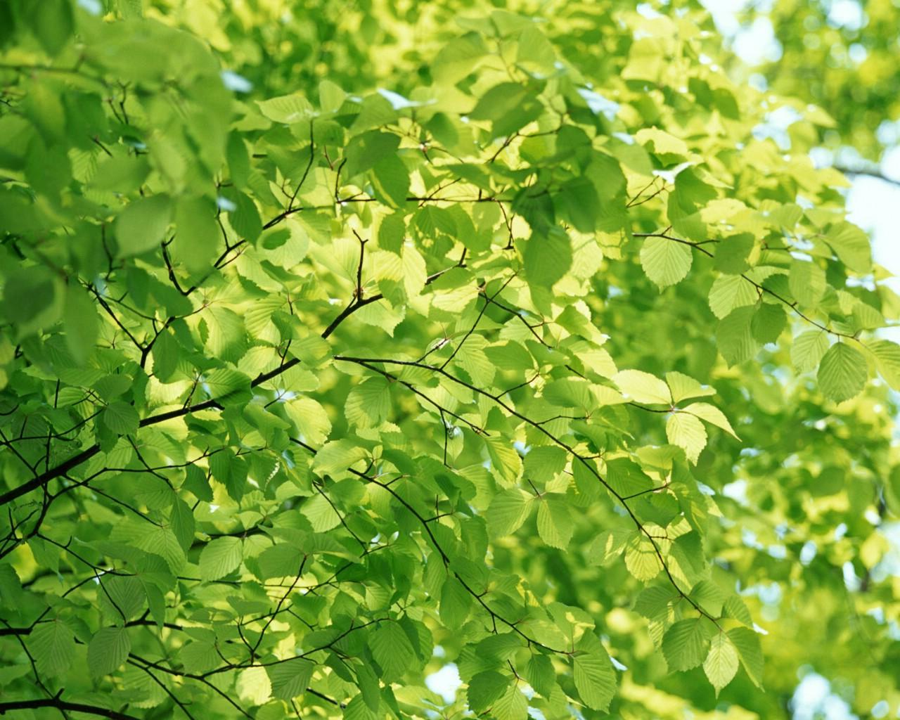 壁纸1280 215 1024清凉绿叶壁纸壁纸 清凉绿叶壁纸壁纸图片 植物壁纸 植物图片素材 桌面壁纸
